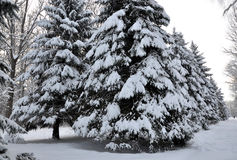 Winter snow covered fir Royalty Free Stock Photos