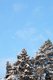Winter snow covered fir trees Stock Image