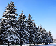 Winter snow covered fir trees Royalty Free Stock Photos