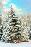 Winter snow covered fir trees Stock Images