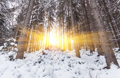 Winter snow covered fir trees on mountainside blue sky Stock Images