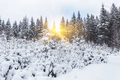 Winter snow covered fir trees on mountainside blue sky Royalty Free Stock Photos