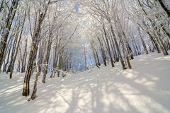 Free Winter Snow Covered Fir Trees On Mountainside On Blue Sky Backgr Stock Photos - 31195703