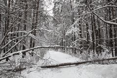 Winter snow-covered forest. The fallen tree blocked the road Stock Photos