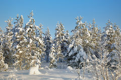 Winter snow-covered forests landscape Stock Images