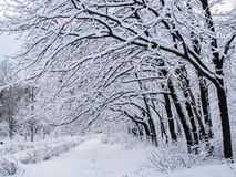 Winter snow-covered oaks. Royalty Free Stock Photo