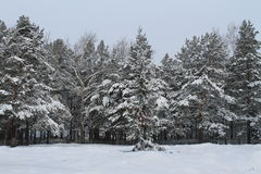 The winter snow-covered pine forest Royalty Free Stock Photo