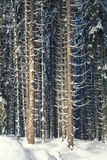 Winter snow covered pine forest Royalty Free Stock Image