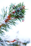 Winter snow covered pine tree branch Royalty Free Stock Photography