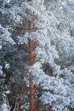 Winter snow covered pine trees Stock Photo