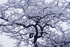 Winter snow-covered tree. Black and white photo of a winter tree in the snow Stock Photo
