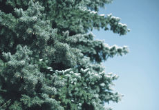 Winter snow-covered tree pine branch in forest Stock Images
