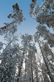 Winter snow covered trees against the blue sky Stock Image