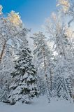 Winter snow covered trees against the blue sky Stock Images