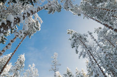 Winter snow covered trees against the blue sky Royalty Free Stock Image