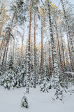 Winter snow covered trees.  Estonia. Stock Photography