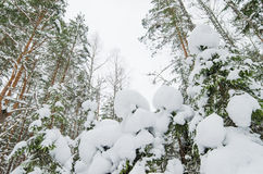 Winter snow covered trees Royalty Free Stock Image