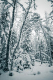 Winter snow covered trees Royalty Free Stock Photos