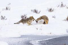 Winter Snow Coyote Fighting Stock Photos