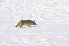 Winter Snow coyote Royalty Free Stock Photo