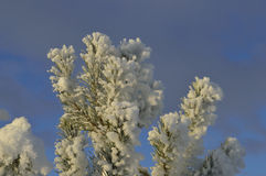 Winter. Snow down on green pine branch on blue sky background Stock Images