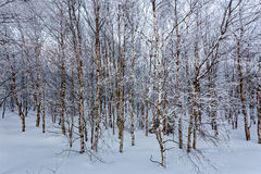 Winter snow european white birch, High Fens, Belgium royalty free stock photo