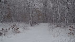 Winter snow fall in the forest snowflakes falling to winter landscape heavy snow storm winter snowy weather snowing. Winter snow fall in the forest snowflakes stock video footage
