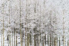 Winter snow falling on Aspen trees in san isabel national forest Stock Photos