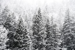 Winter snow falling on san isabel national forest Stock Photo