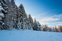 Winter snow fir Royalty Free Stock Images