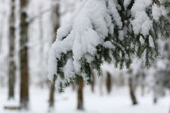 Winter snow on fir tree branch Royalty Free Stock Photography