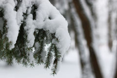 Winter snow on fir tree branch Royalty Free Stock Images