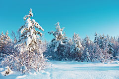 Winter snow forest Royalty Free Stock Photos