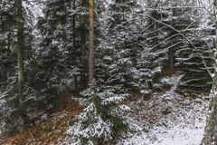 Forest in the winter. Winter with snow  in  forest at the Lake Rożnów in Poland .view in the center of forest Royalty Free Stock Photography
