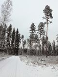 Winter snow forest pinetree landscape view coniferous tree conifer pine fir finland north ice snow road. Winter forest and road fir pine pirch Stock Images