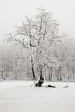 Winter in the snow forest. Solitary tree in winter, snowy landscape with snow and fog, foggy forest in the background. Cold winter Stock Image