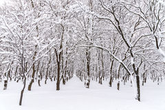 Winter Snow On Forest Trees Royalty Free Stock Photo