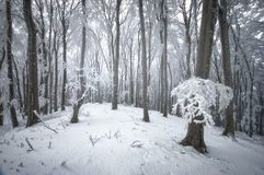 Winter snow in forest Royalty Free Stock Photo
