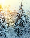 Winter snow forest trees sunset background. Red sunset in winter snow forest trees scene. Vertical view. Ski run in the winter sunny forest royalty free stock images