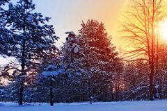 Winter snow forest trees sunset background. Red sunset in winter snow forest trees scene. Winter sunset snow forest trees view. Sunny way in winter snow forest stock image