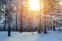 Winter snow forest trees sunset background. Red sunset in winter snow forest trees scene. Winter sunset snow forest trees view. Sunny way in winter snow forest stock photo