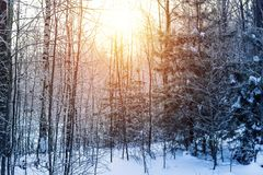 Winter snow forest trees sunset background. Red sunset in winter snow forest trees scene. Winter sunset snow forest trees view. Sunny way in winter snow forest royalty free stock photos