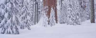 Winter snow in the Giant Forest, Royalty Free Stock Photography