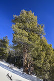 Winter snow and huge pine tree Royalty Free Stock Photo