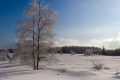 Winter snow landscape, birch tree, pine trees, High Fens, Belgium Royalty Free Stock Images
