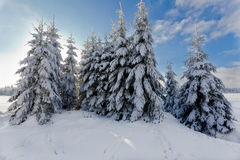 Winter snow landscape, pine trees, High Fens, Belgium stock photo