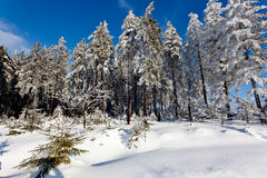 Winter snow landscape, pine trees, High Fens, Belgium royalty free stock image