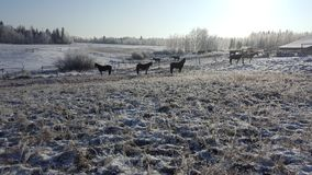 Winter snow landscapes horses Royalty Free Stock Image