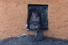 Winter snow monkey Royalty Free Stock Photo
