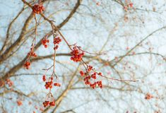 Winter, snow, nature, tree, frost, cold, ice, branch, white, frozen, plant, season, branches, sky, blue, christmas, forest, trees,. Sprig of wild apples, frosty stock image